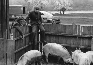 Ežeraičių gyvulių supirkimo punkte, 1982 m.