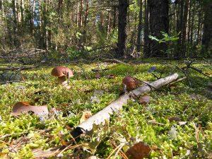 Buvusį Kuciūnų kaimelį maloniai primena jo pakraštyje, sename miške, kiekvieną vasarą ir rudenį dygstantys baravykai