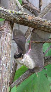 Šikšnosparnis, aptiktas ūkiniame pastate